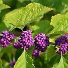 Beautyberries - A beautiful Rich Purple Berry by Paula Betz