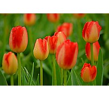 A Tapestry Of Tulips Photographic Print