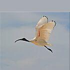 Ibis in flight by STHogan