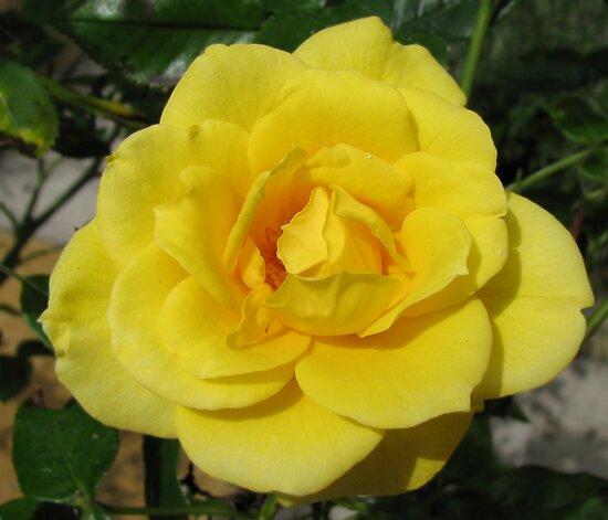Golden Rose by BlueMoonRose