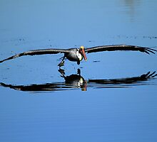 Brown Pelican Skims The Water by DARRIN ALDRIDGE