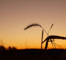 Wheat Stalk at Sunrise by ctgponies
