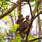 Diamond Dove ( Geopelia Cuneata) by Evita