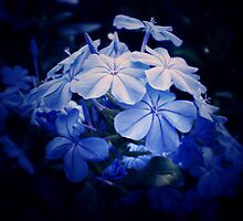 Moonlit Flowers ~ Floral Photography by Sabine Jacobs