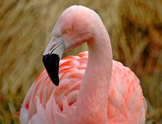 Flamingo 1 by Nick Boren