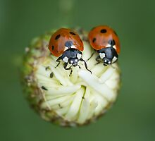two ladybugs on marguerite by Carine LUTT