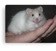 Close up of a white syrian hamster Canvas Print