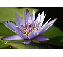 Purple water Lily Flowers Photographic Print