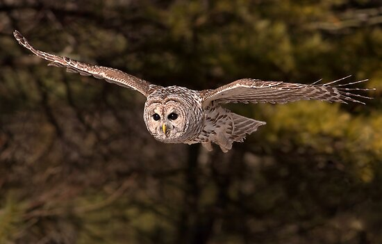 In Flight 3 / Barred Owl by Gary Fairhead