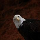 Bald Eagle by Daniela Pintimalli