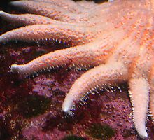 Starfish in Pink by Laurel Talabere