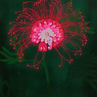 Australian Grevillea iPhone Case by Kim  Lynch