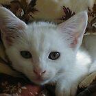 Beautiful white kitten by Abigail Langridge