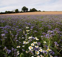 Ox Eye Daisies, Phacelia & Barley by Christopher Cullen