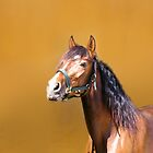 Bay Andalusian Stallion by chrstnes73