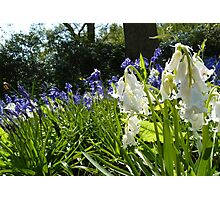 Whitebell-Bluebell Photographic Print