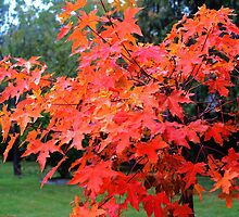Fall Maple Bonsai by the57man