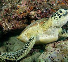 Green turtle - Chelonia mydas by Andrew Trevor-Jones