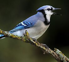 The Green Perch / Bluejay by Gary Fairhead