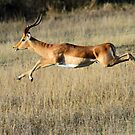 Impala in motion by jozi1