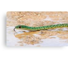 Boomslang vs Spotted bush snake Canvas Print
