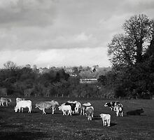 Black and white view with cattle by David Isaacson
