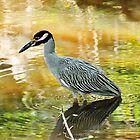 Yellow Crowned Night Heron by Kathy Baccari