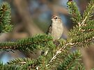 Chipping Sparrow in the Pine by Deb Fedeler