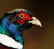 Pheasant by Neil Bygrave (NATURELENS)