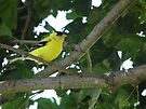 Goldfinch in Tree by Deb Fedeler