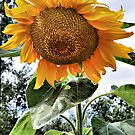 Sunflower Beauty by shellyb