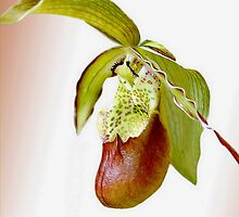 Slipper Orchid by John Morrison