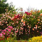 Spring, a magical time of year, the roses flourish - Kilmore, Victoria Australia by Margaret Morgan (Watkins)