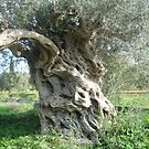 Olive tree by Heike Schenk Arena