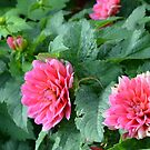 Bright Pink Dahlia Flowers by Paula Betz