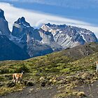 Where Guanaco roam free, Torres del Paine National Park by Coreena Vieth
