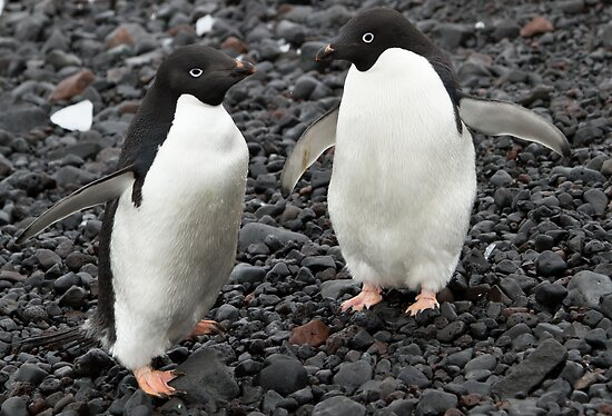 Adelie Penguins, Paulette Island, Antarctic Peninsula by Coreena Vieth