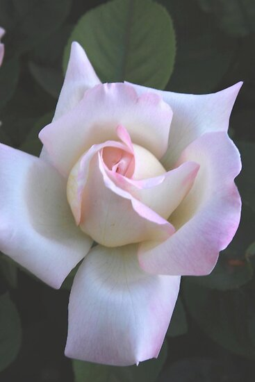 Pink on White Rose by Robert Armendariz