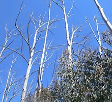 Alpine Ash Forest, Mt Buffalo by brozekcordier