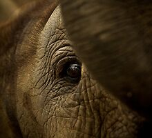 Baby Elephant by ebonyjaynephoto