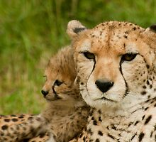 cheetah and cub from chester zoo by steven  renton