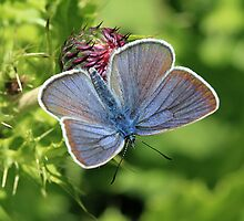 Mazarine Blue Butterfly nectaring on Thistle Flowers (Bulgaria) by Michael Field