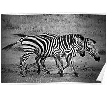 Zebras - B&W Poster