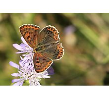 Sooty Copper Butterfly (Female) on Scabious Flowers, Melnik (Bulgaria) Photographic Print