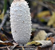 Shaggy Ink Cap - Woolston Linear Park, Warrington by Chris Monks