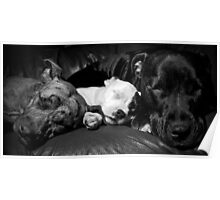 Cookie,Molly,Alfie - the Staffie Family Poster