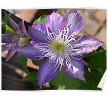 Purple Clematis Flower on Trellis  Poster