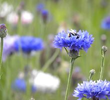 BumbleBee in Field Scabious by alittlebird