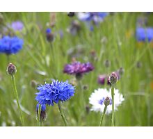 Field Scabious Photographic Print