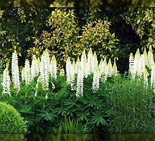 Long Line of Lupins by BlueMoonRose